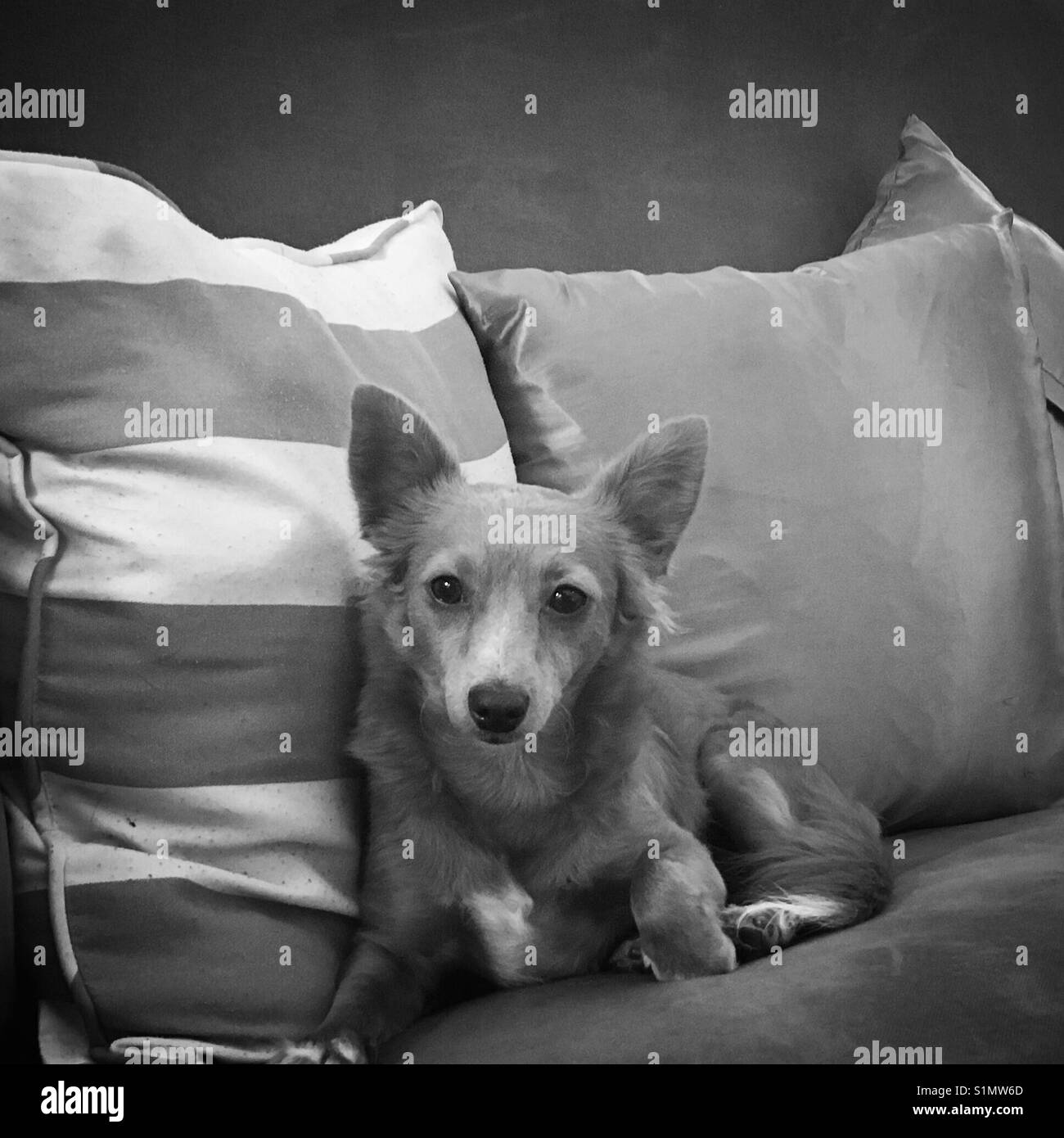Dog on couch - Stock Image