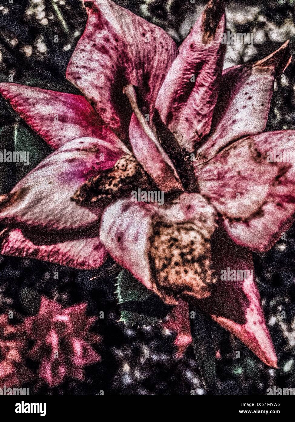 Aging beauty- pink faded, flawed rose - Stock Image