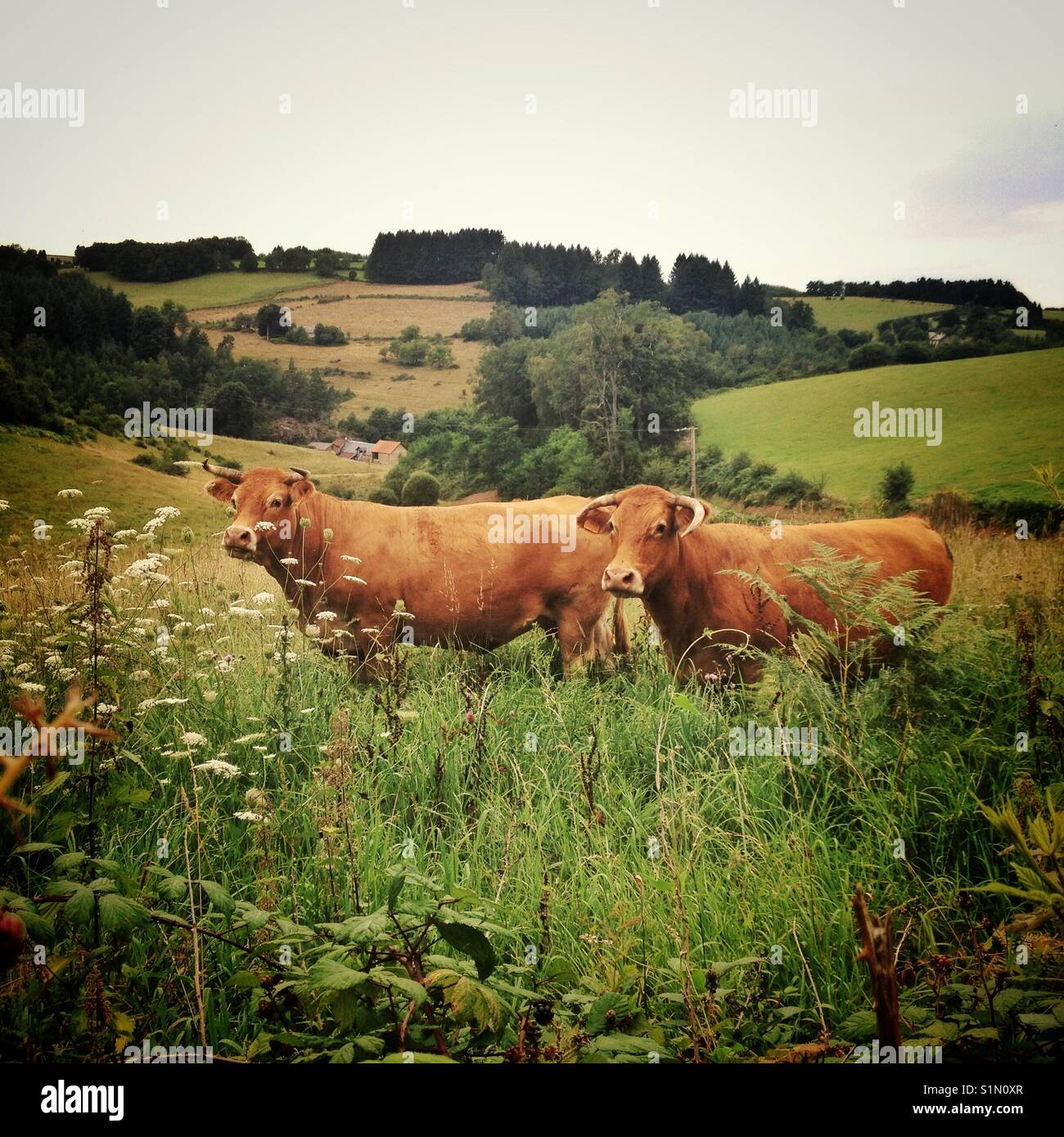 Two red Limousin cows in a field, looking at the viewer - Stock Image