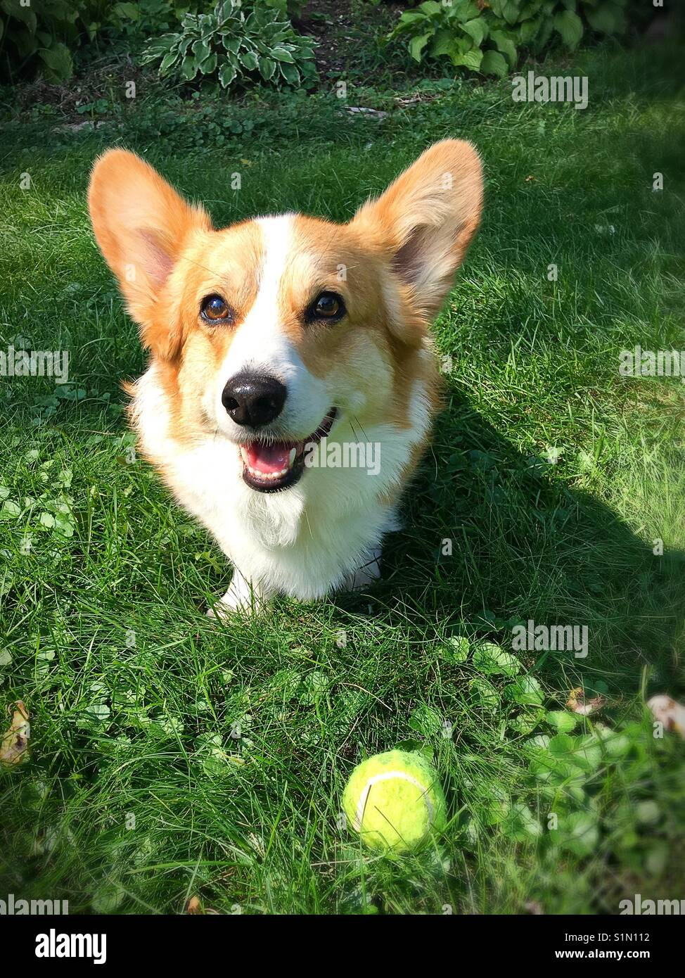 A cute smiling corgi in the grass with a tennis ball. - Stock Image
