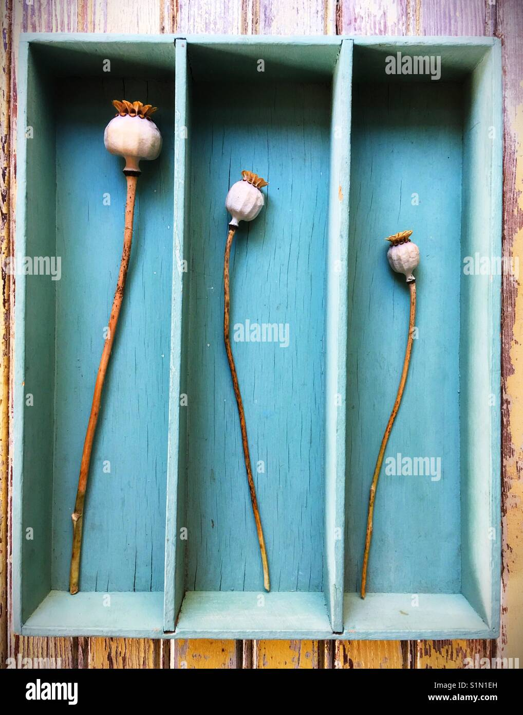 Three dried poppies in a rustic box. - Stock Image