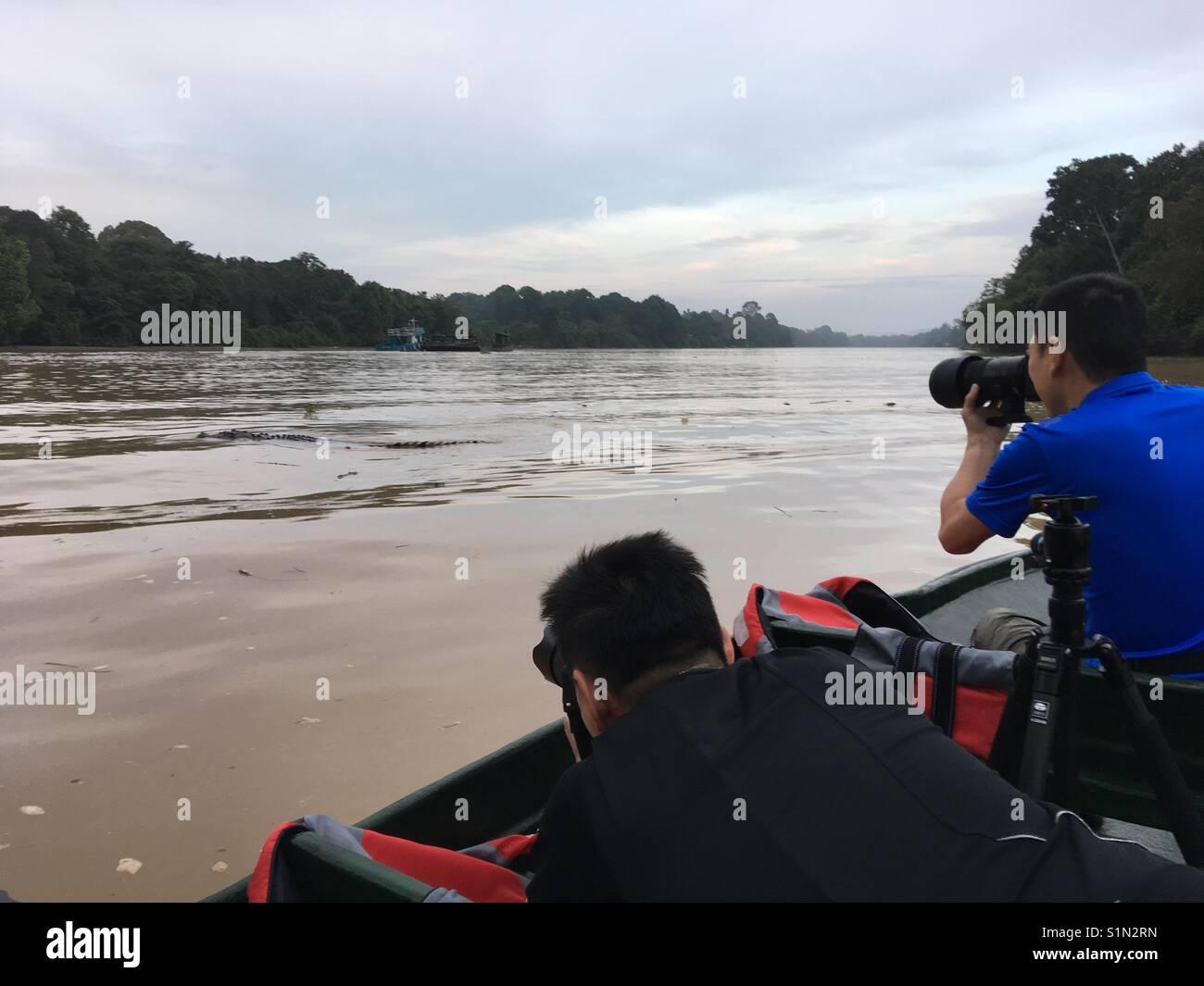 Nature photographers spotted a 5 metres long estuarine crocodile along Kinabatangan, the longest river in Sabah, - Stock Image
