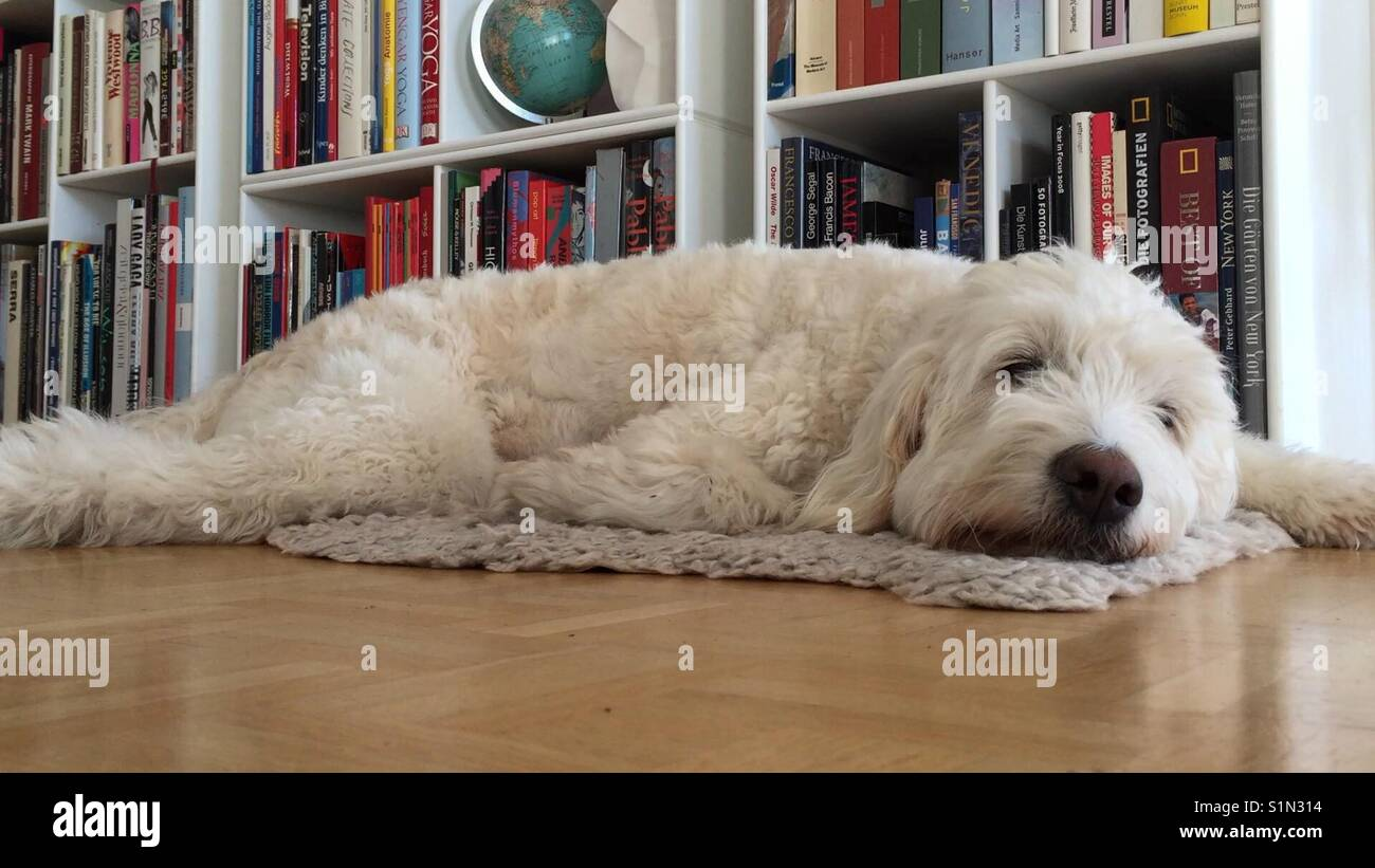 Books in white shelf with white dog lying on sheep skin rug in front, goldendoodle sleeping on wodden floor Stock Photo