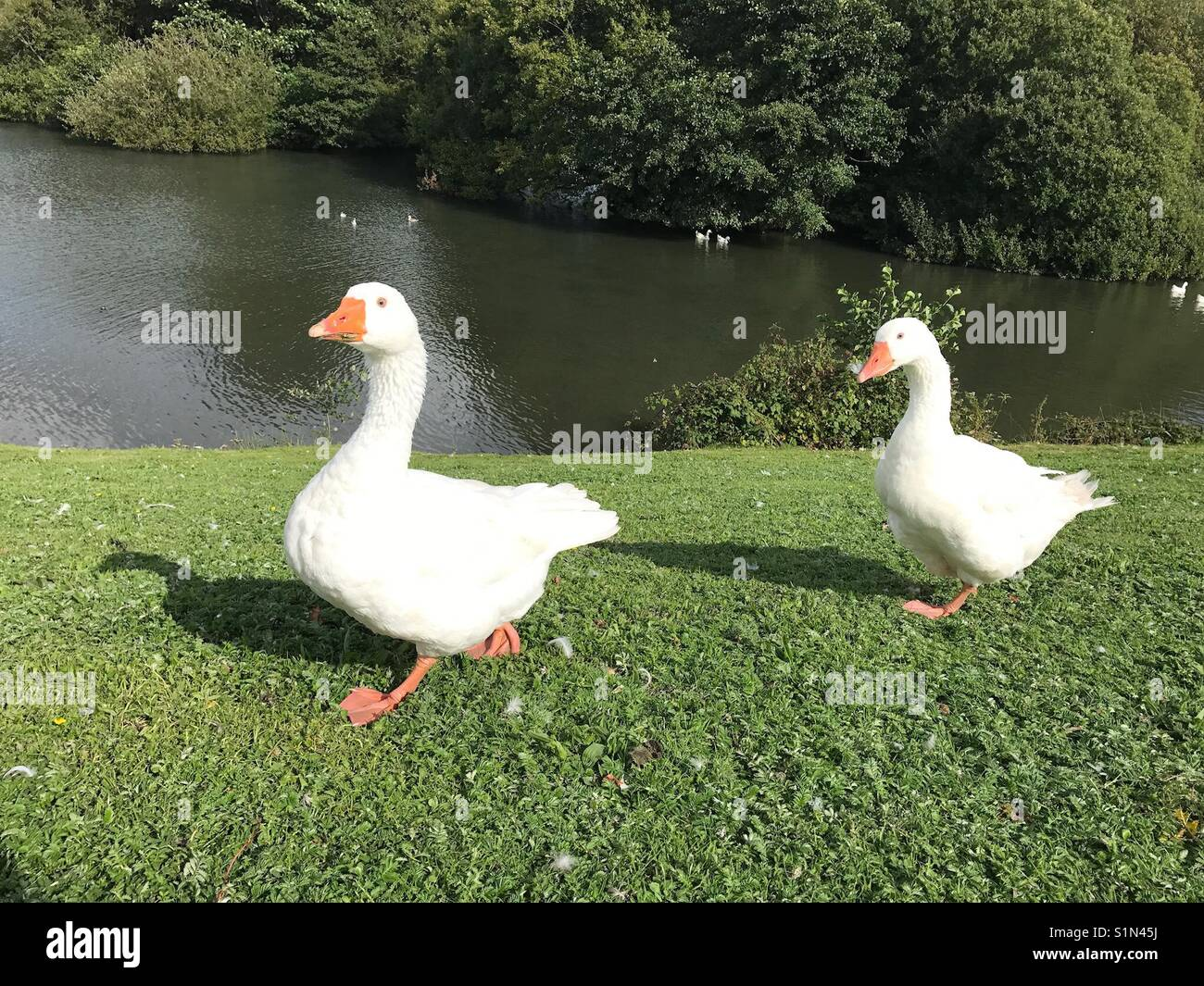 Pair of geese - Stock Image
