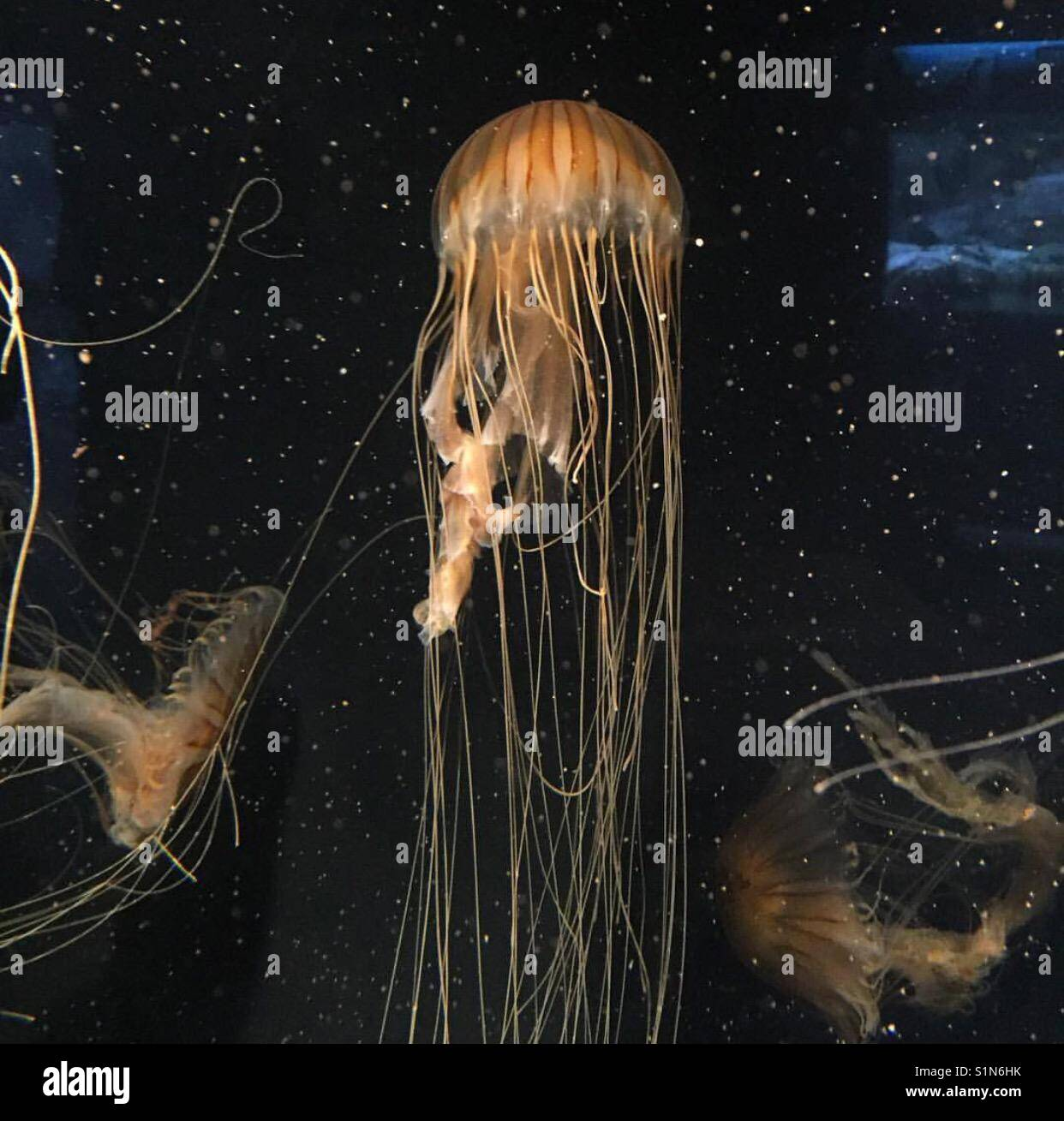 Jellyfish are so photogenic! - Stock Image