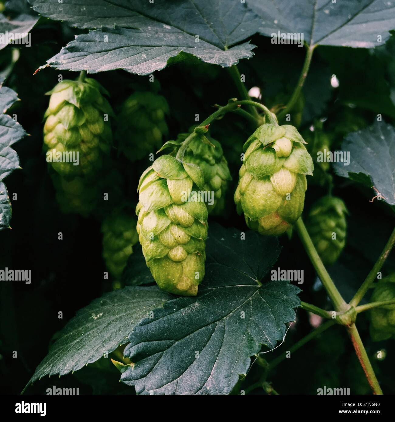 Close up detail shot of hops growing on a vine - Stock Image