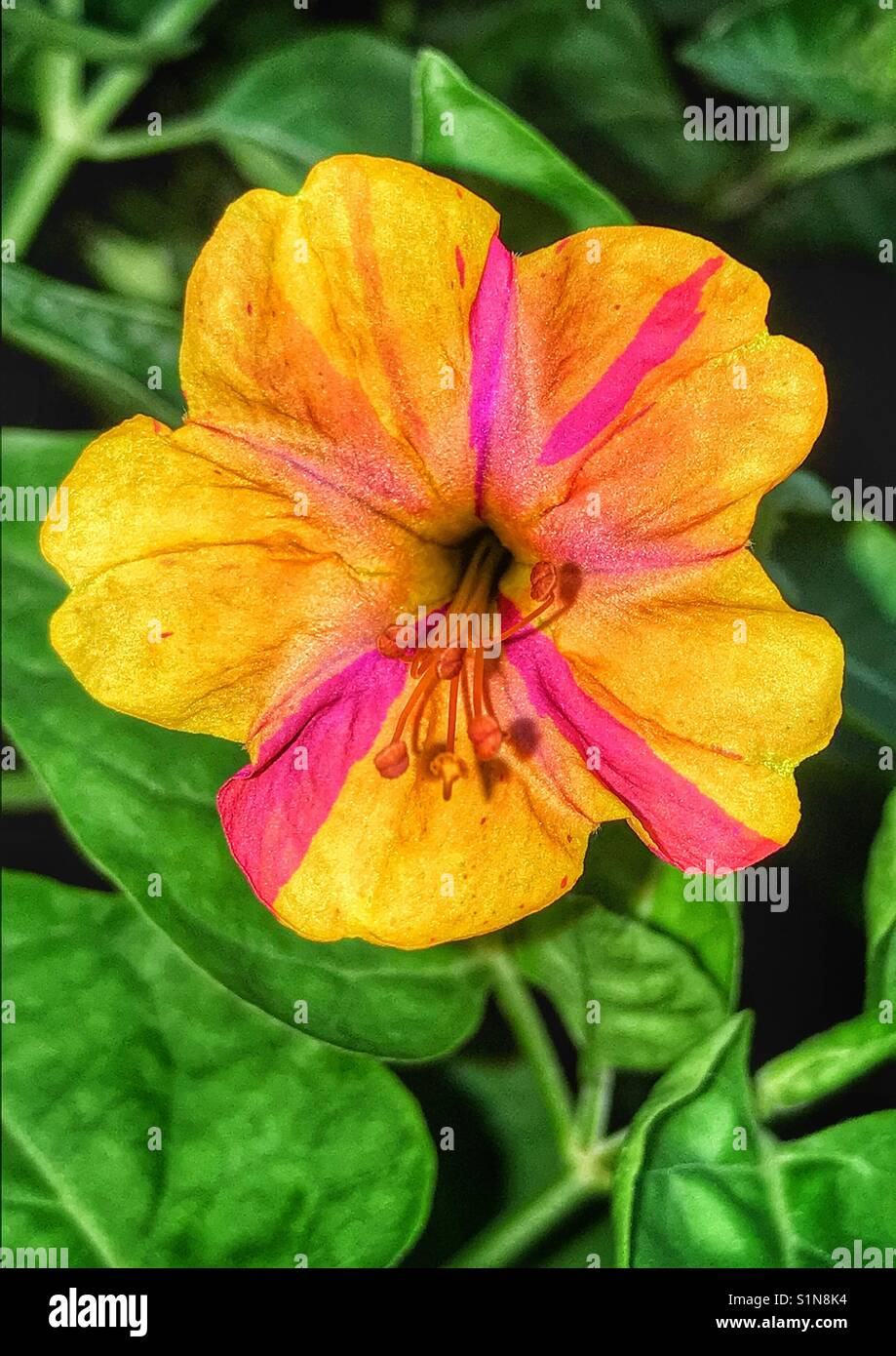 Pink And Yellow Striped Four Oclock Flower Mirabilis Jalapa Stock