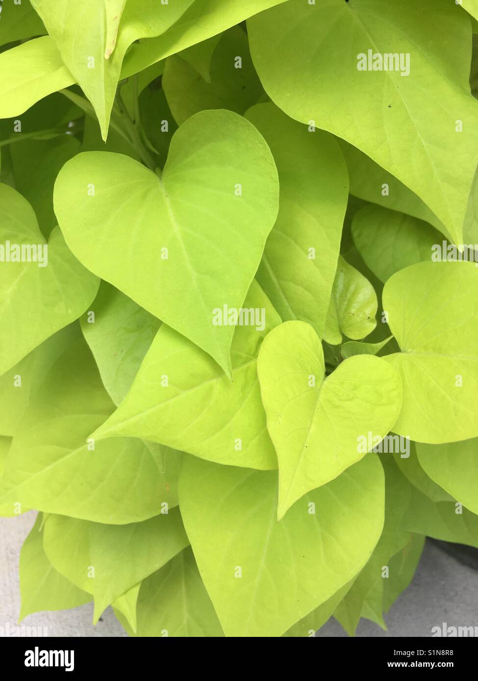Heart Shaped Bright Green Leaves Stock Photo Alamy