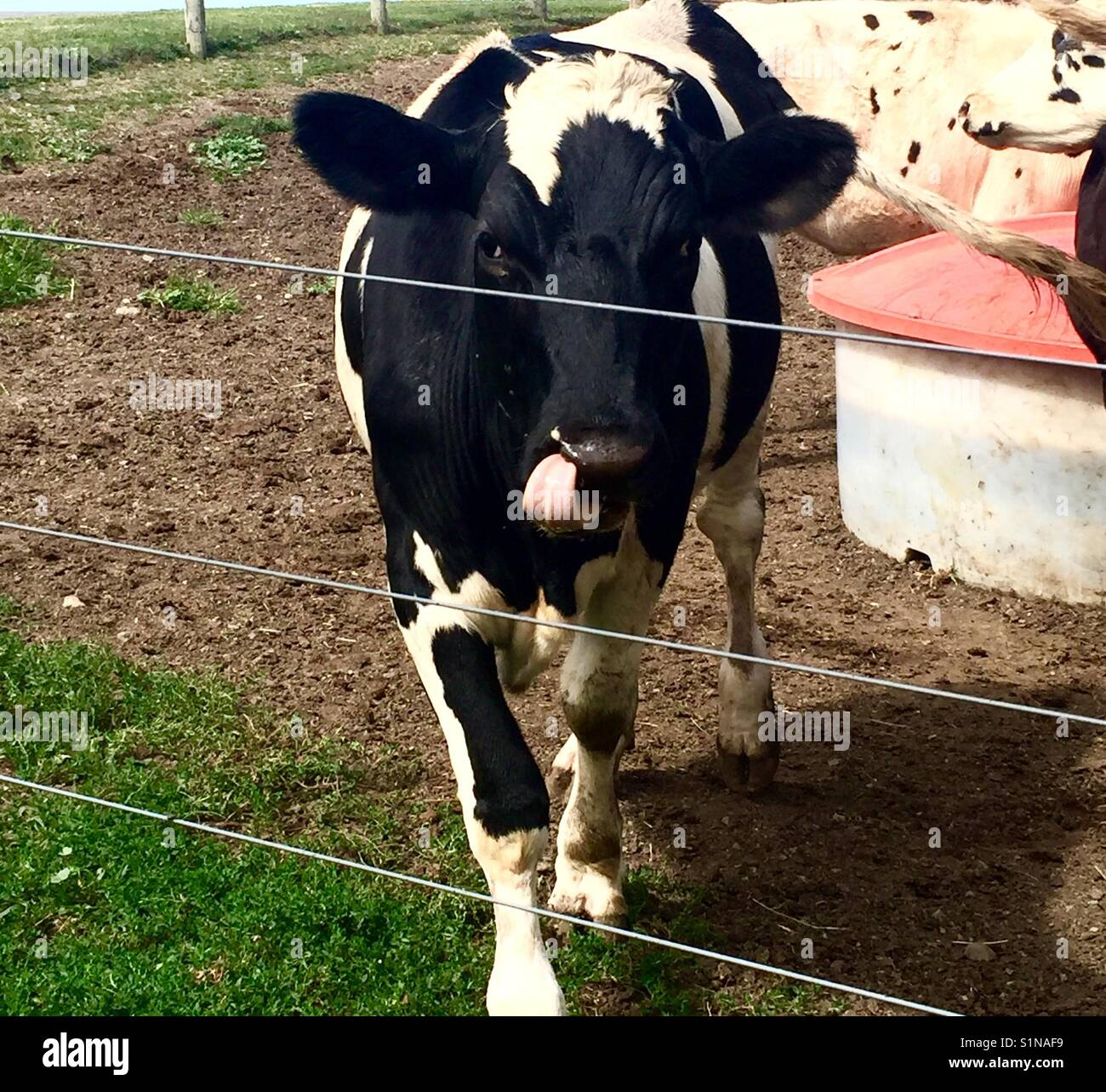 Cow licking lips, 'oops I missed a bite', black and white cow sticks out tongue - Stock Image
