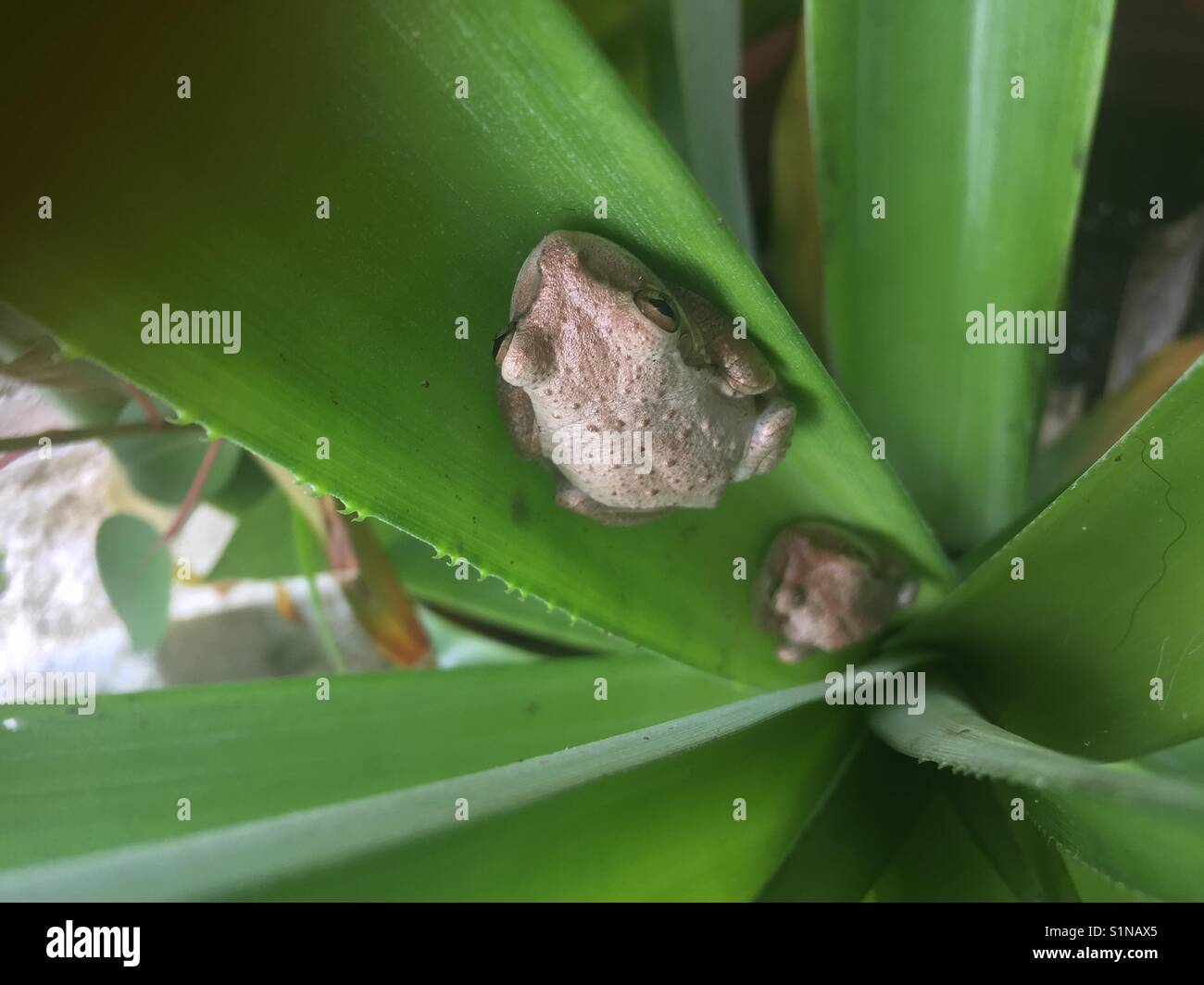 Two brown tree frogs in plant in St Thomas, USVI - Stock Image