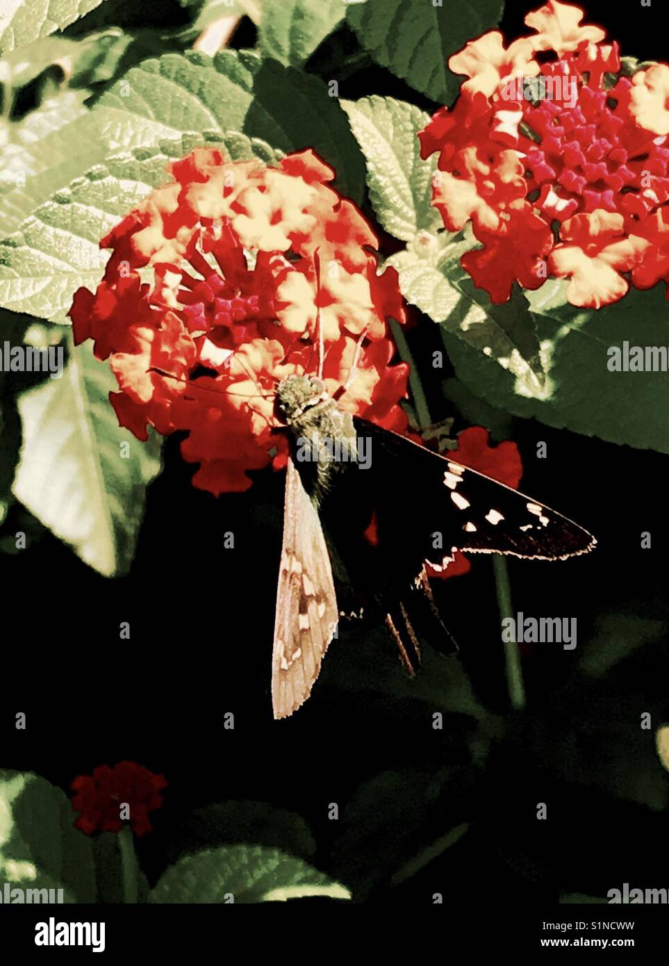 Color altered moth on blooming flower - Stock Image