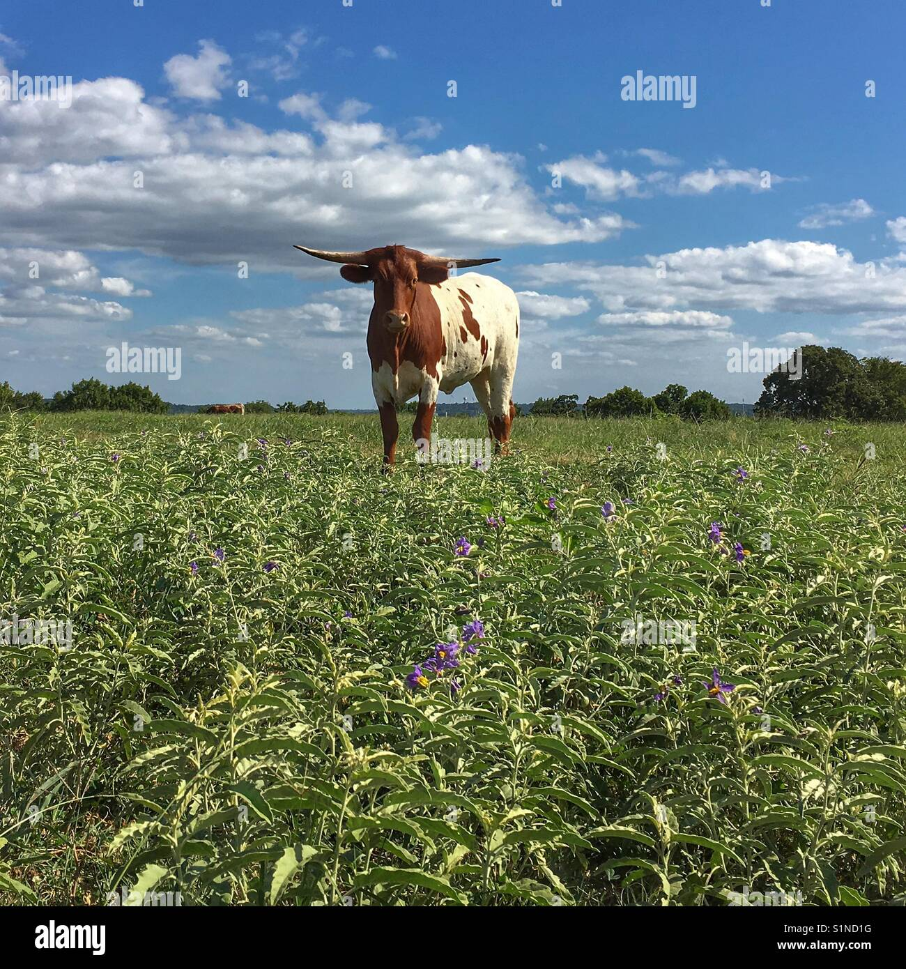 Texas Longhorn cow standing in a flowered field with blue sky and white puffy clouds on a sunny day. - Stock Image