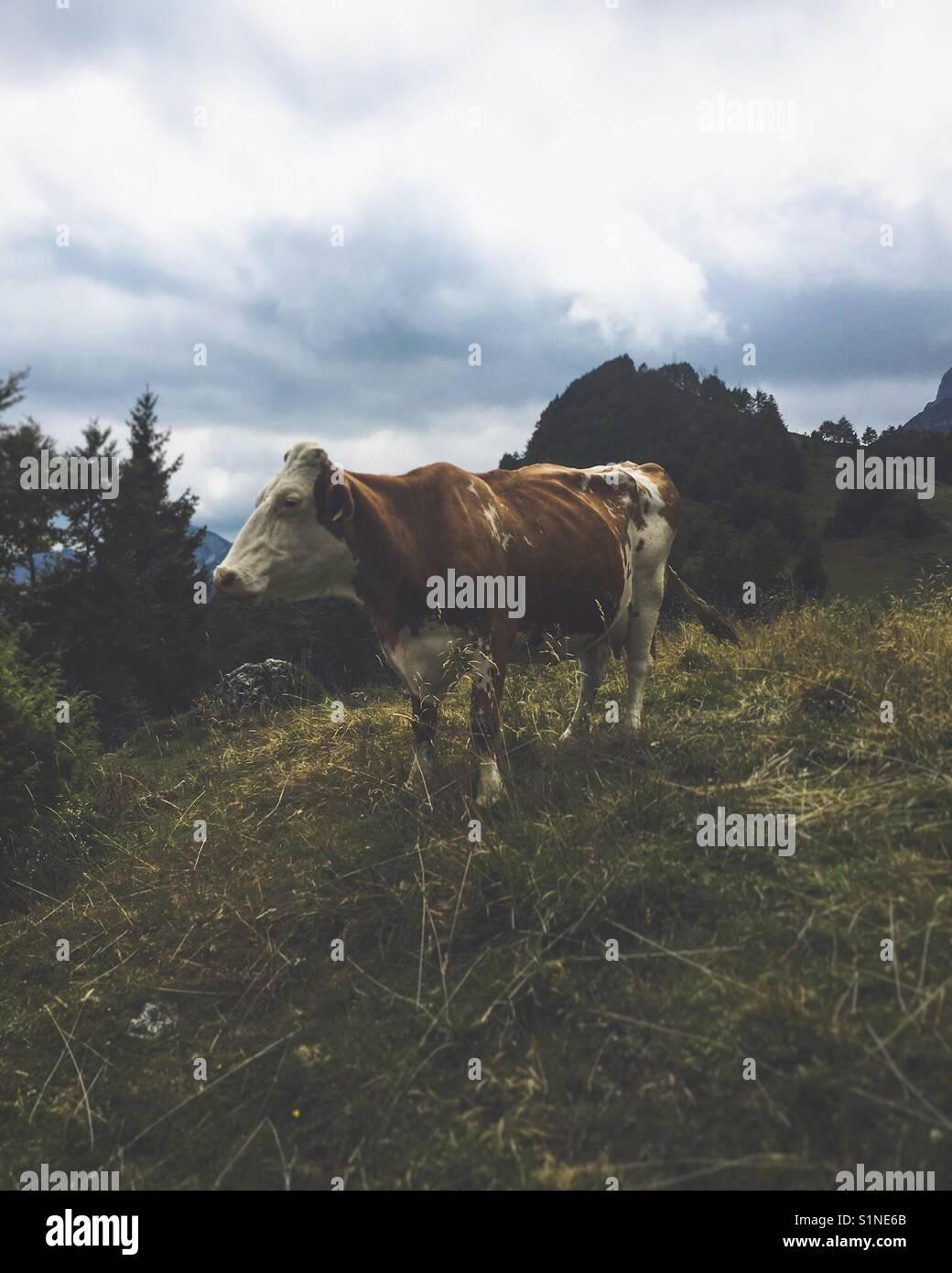 Dolomiti cow Stock Photo