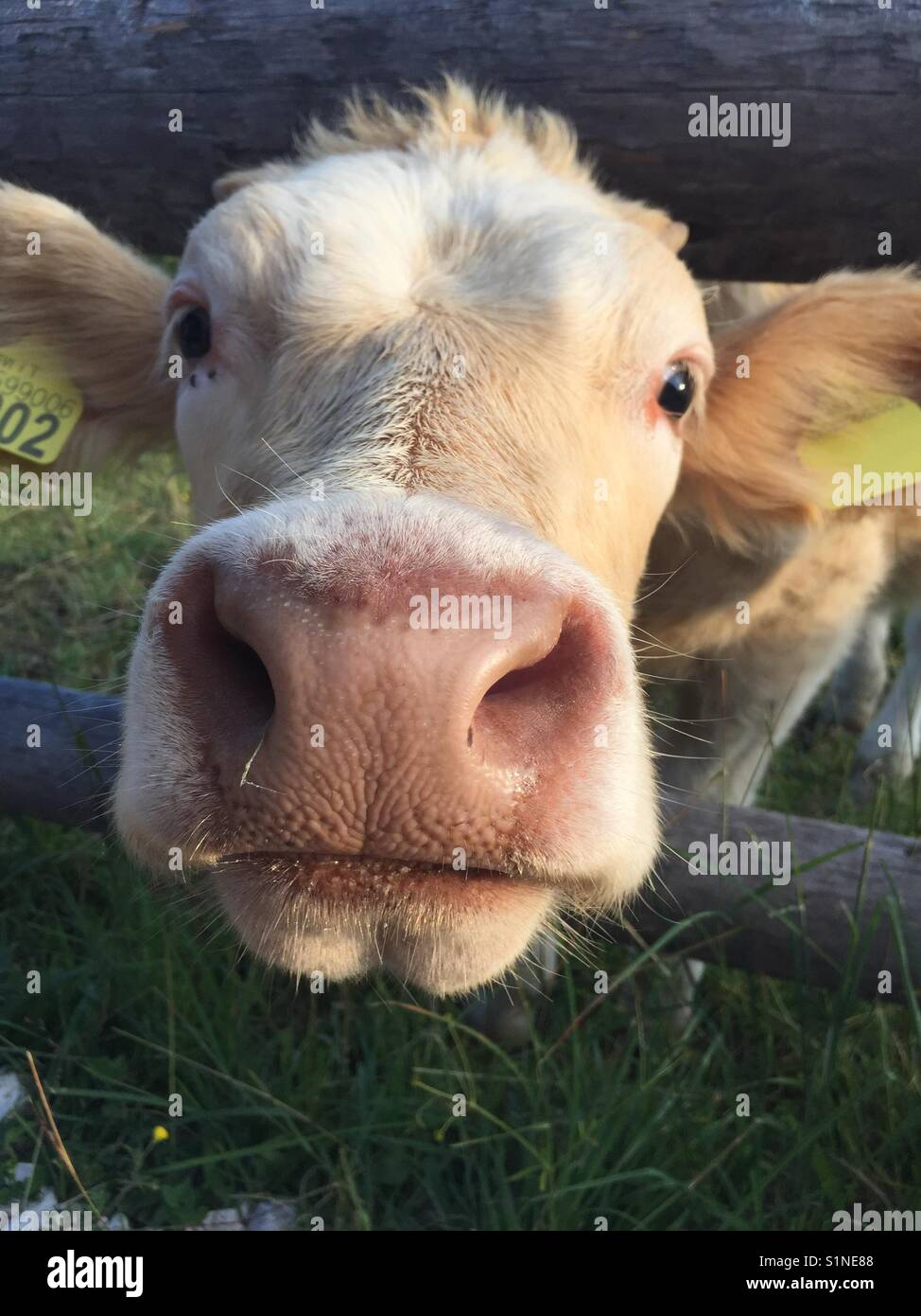 Friendly baby cow - Stock Image