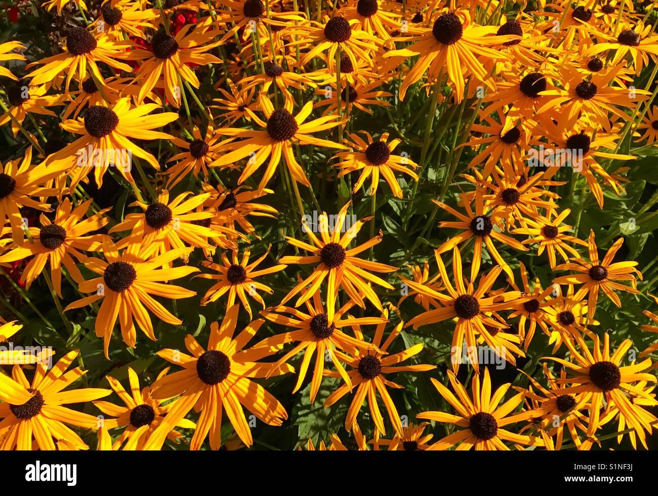 Yellow beautiful petals and brown stock photos yellow beautiful beautiful display of deep yellow flowers rudbeckia stock image mightylinksfo