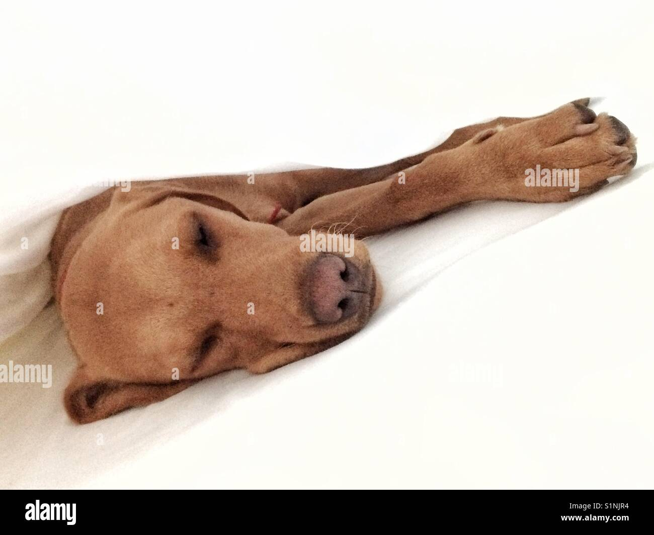 A tired and sleepy puppy dog stretching out under clean white sheets - Stock Image