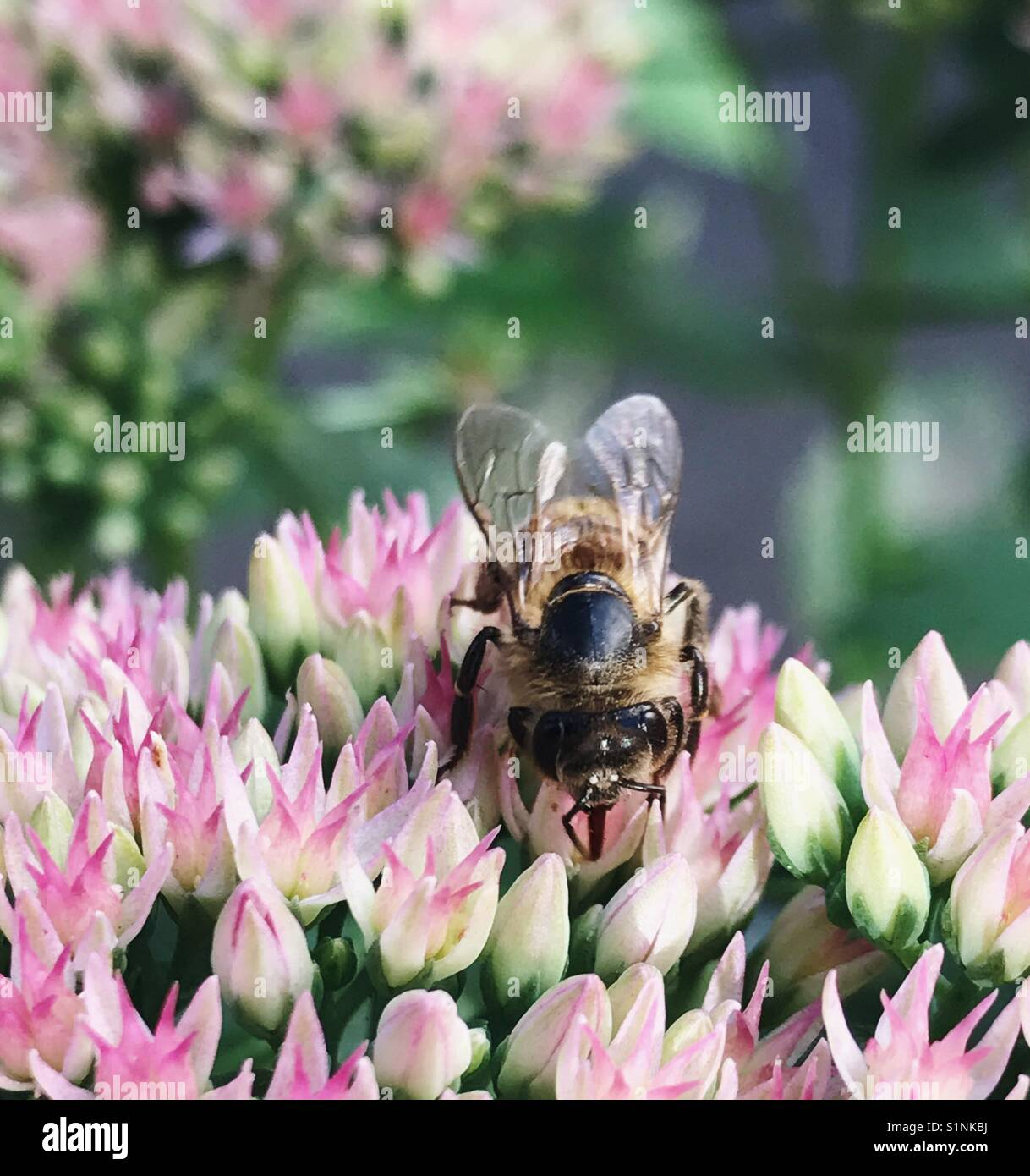Closeup of a bee on a Bouncing Bess flower - Stock Image