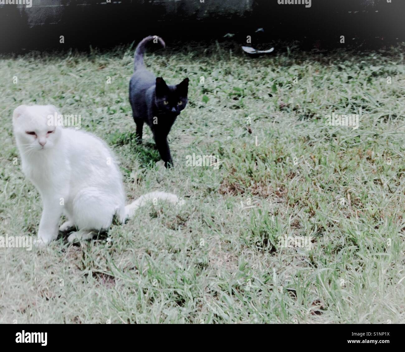 Cat brothers, one black and one white laze in the lawn on a summer afternoon - Stock Image