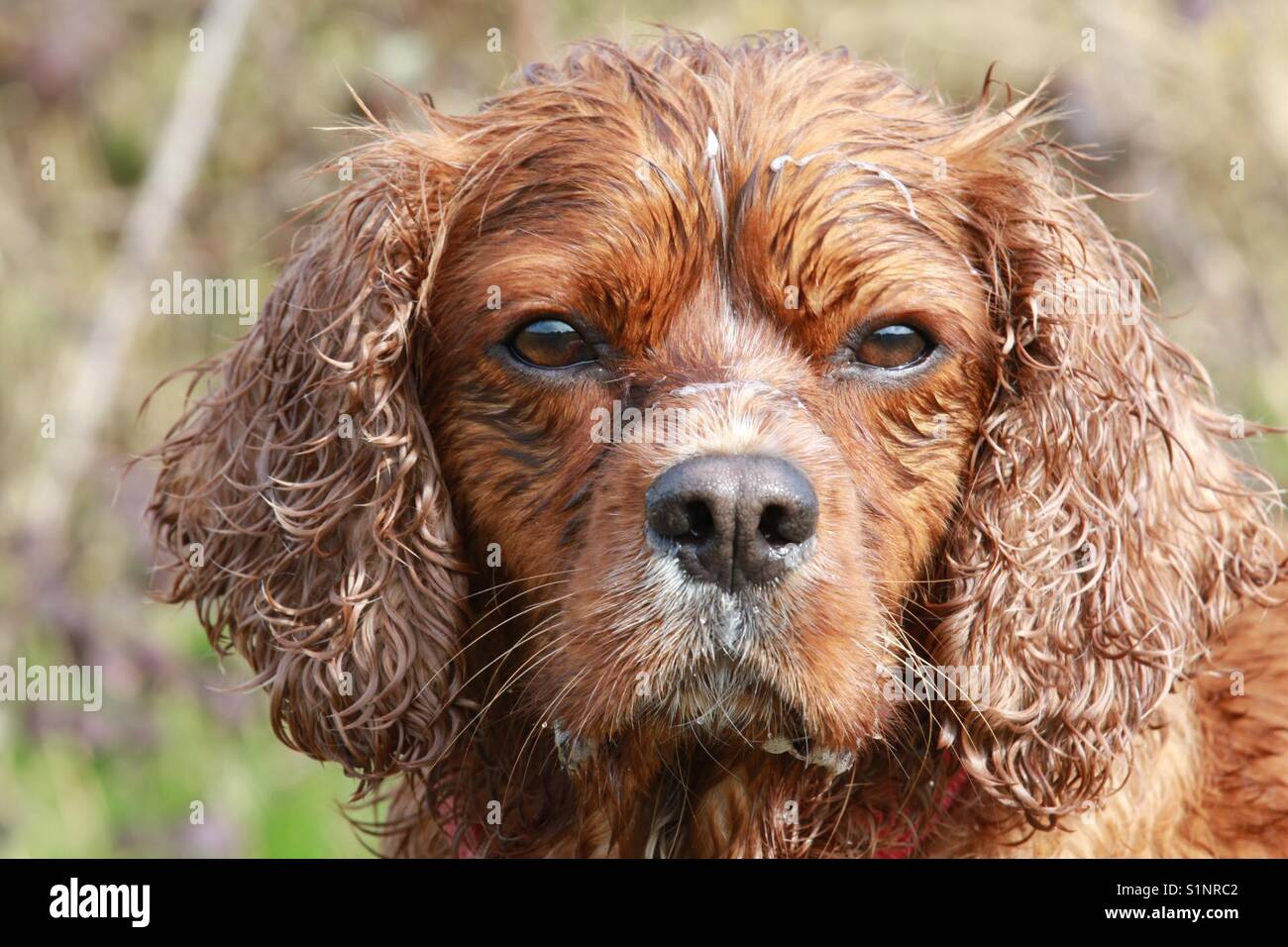 Thinking dog drying in the sun - Stock Image