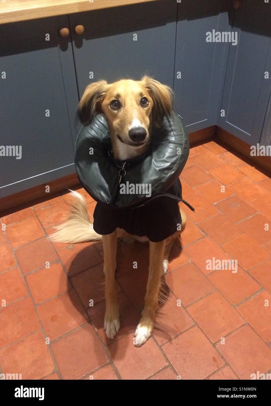 Injured dog wearing inflatable collar Stock Photo