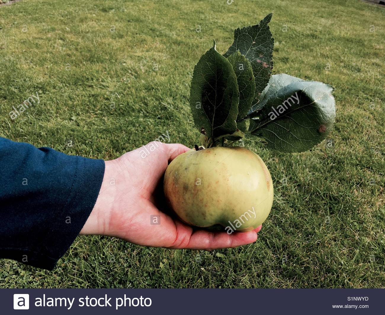 Person holding a large Bramley apple complete with leaves - Stock Image