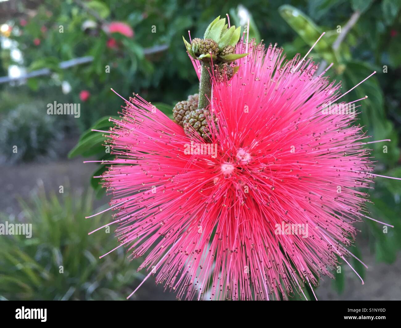 Fuzzy Pink Flower Stock Photos Fuzzy Pink Flower Stock Images Alamy