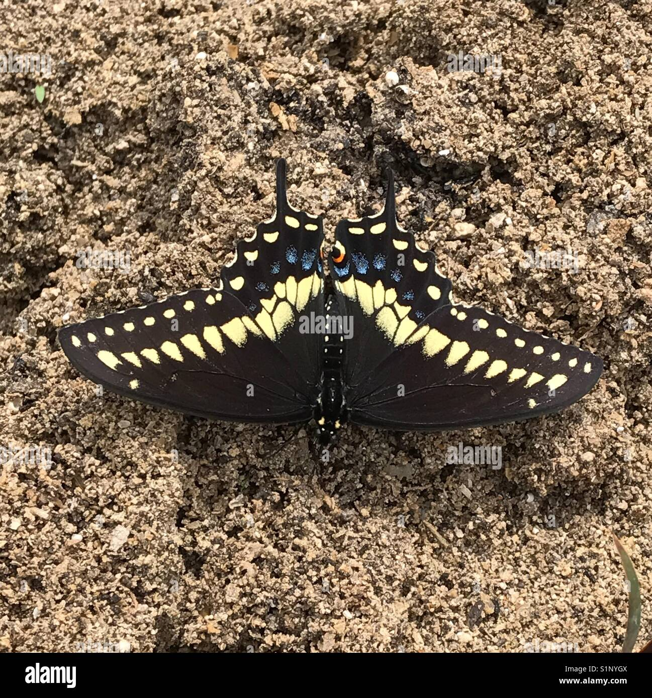 Black And Tan Butterfly Stock Photos & Black And Tan Butterfly Stock ...