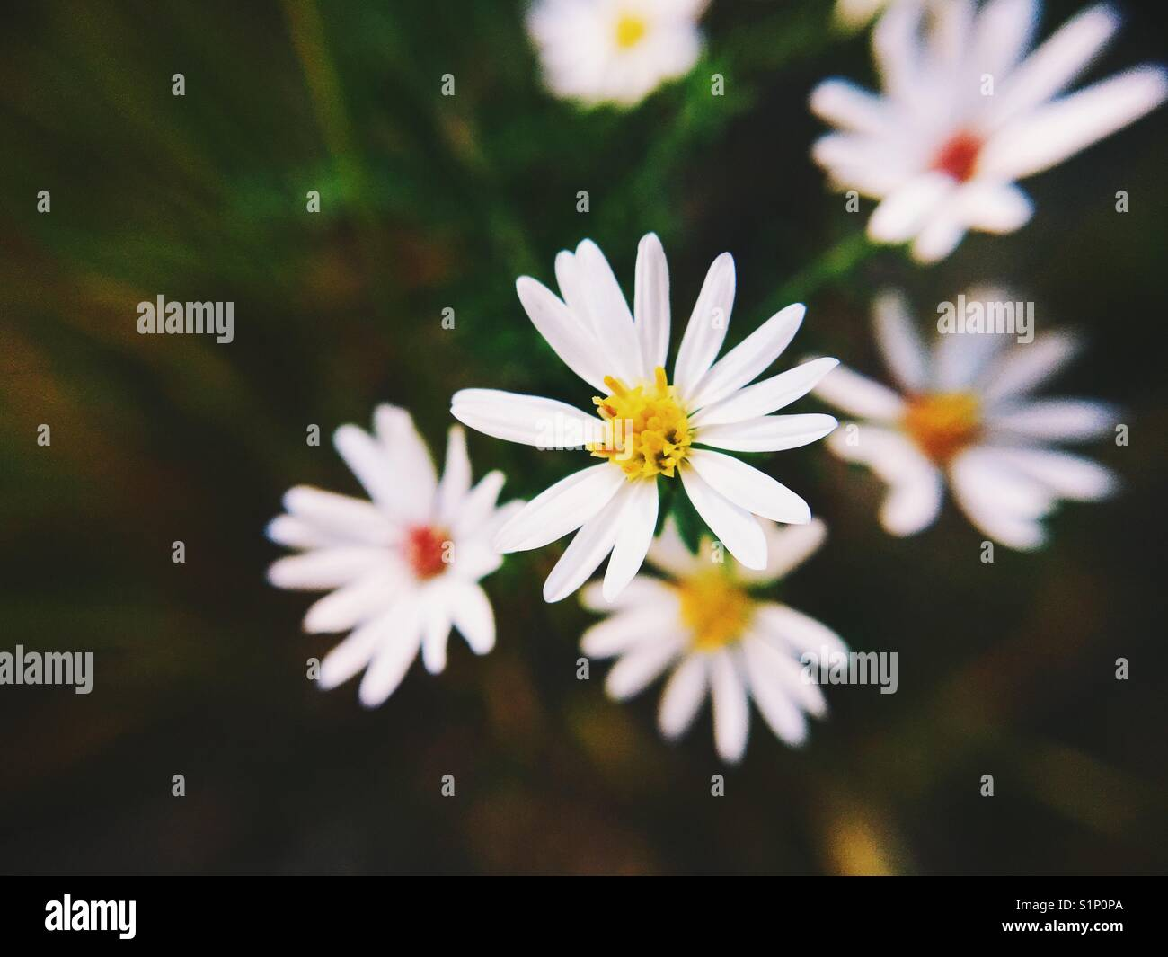 Tiny white flowers photographed with a macro lens attachment on an iPhone 6s. - Stock Image