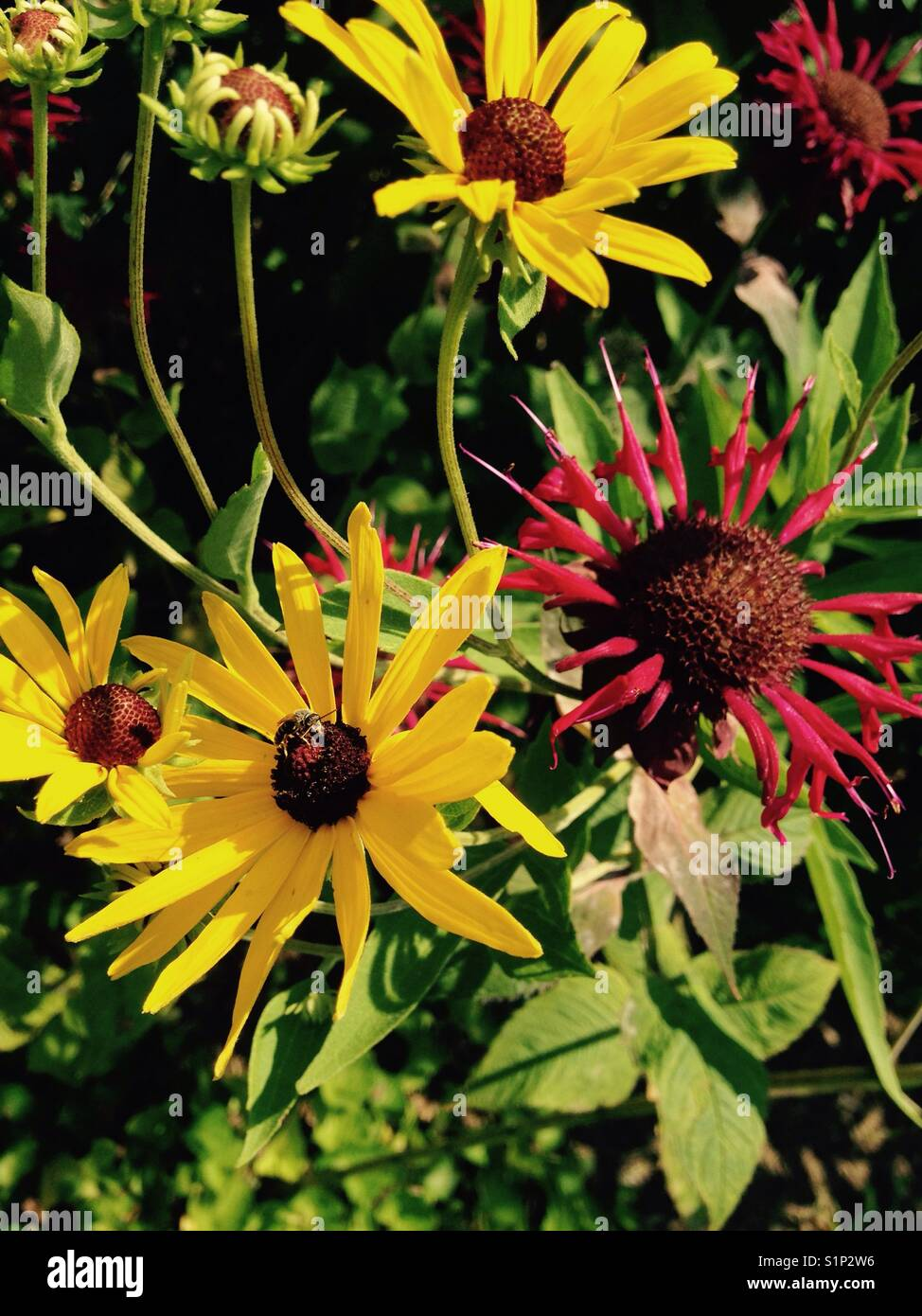 Tiny bee on a Black-eyed Susan flower next to scarlet bee balm - Stock Image