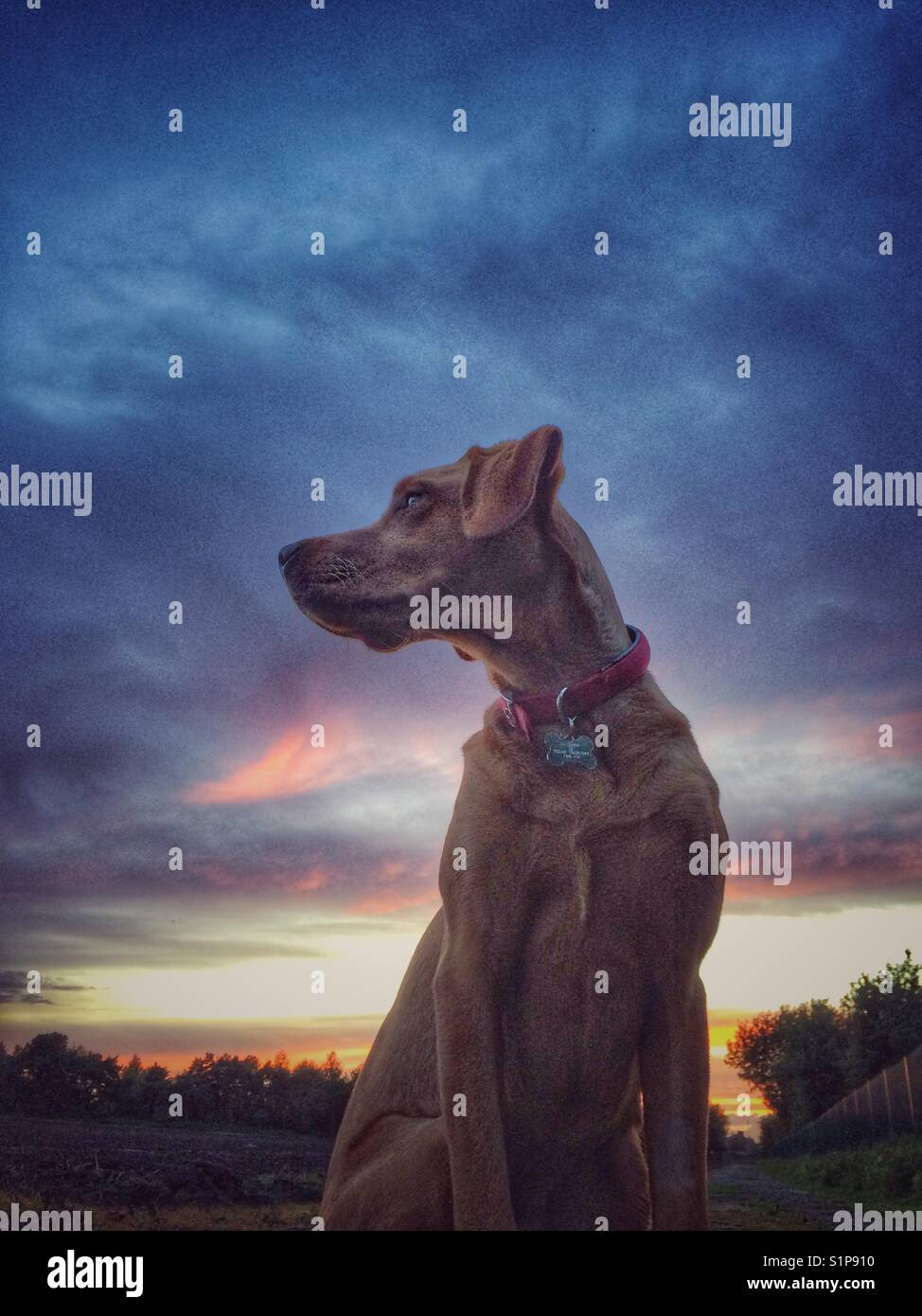 A yellow labrador retriever looking regal and dignified with a colourful sunset and dramatic clouds behind - Stock Image