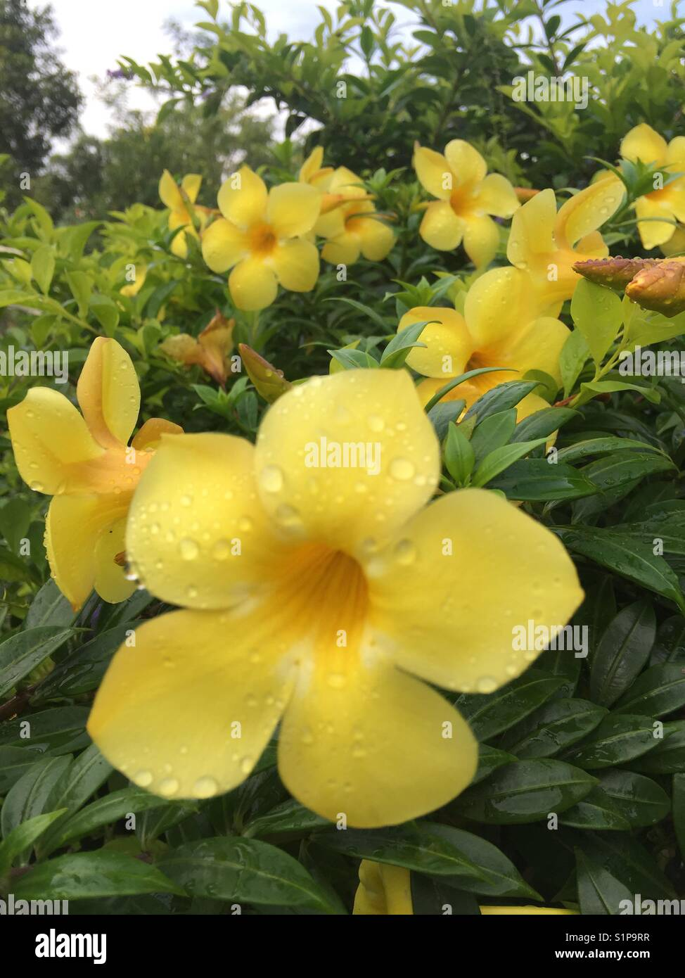 Yellow Bell Flower Stock Photos Yellow Bell Flower Stock Images
