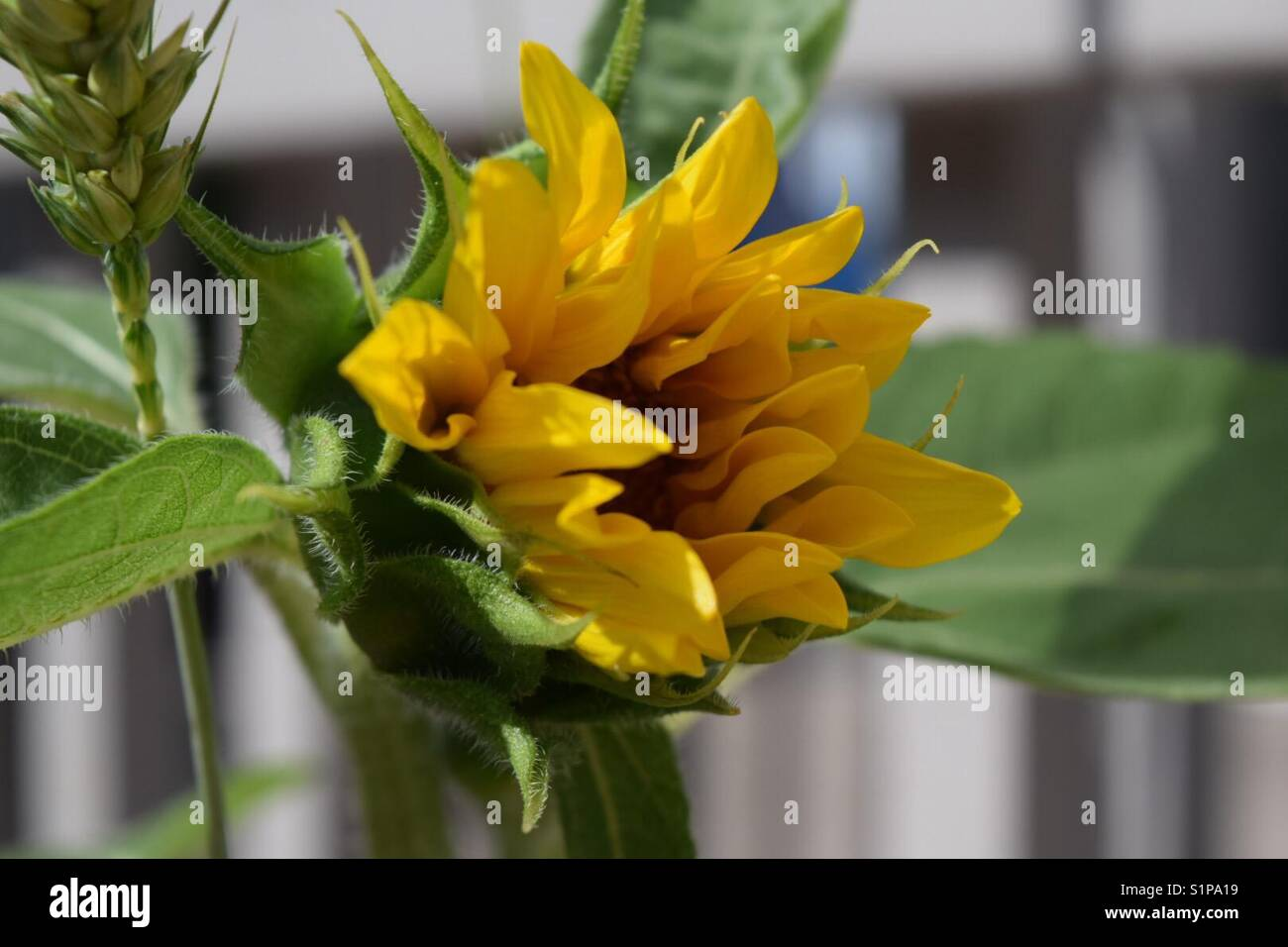 Sunflowers Are Usually Tall Annual Or Perennial Plants That In