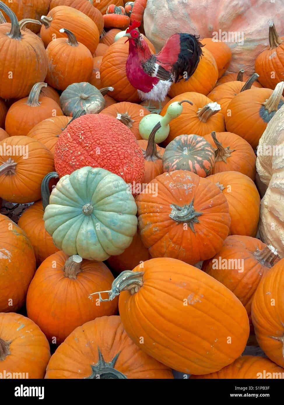 pumpkins - Stock Image