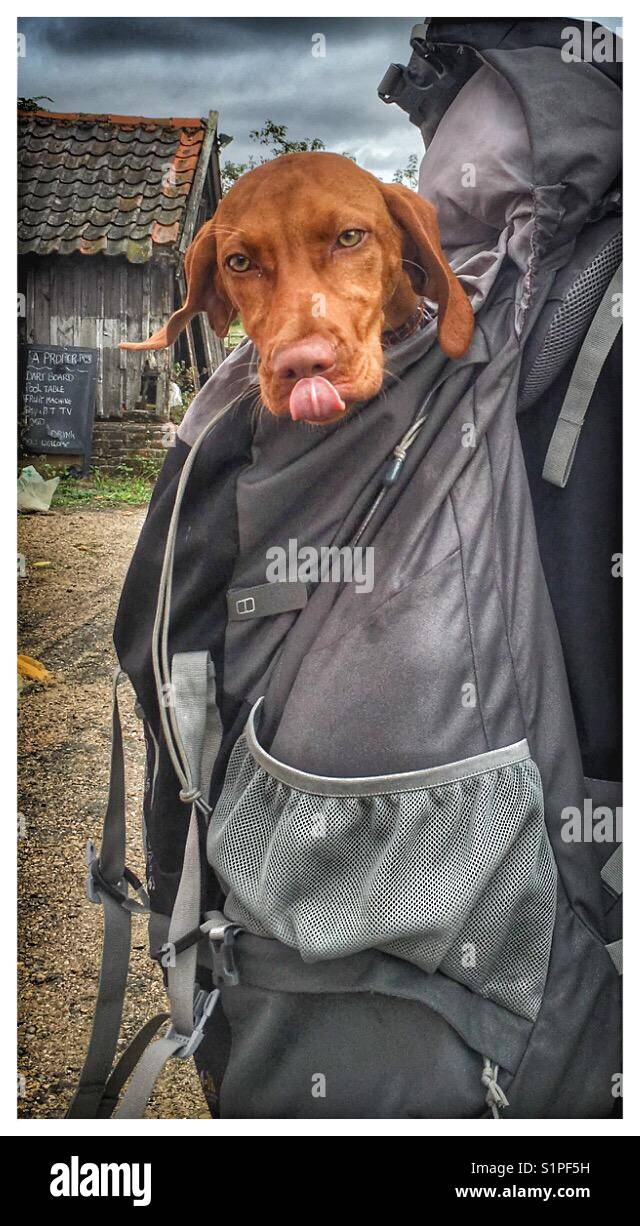Pet Dog in a backpack. - Stock Image