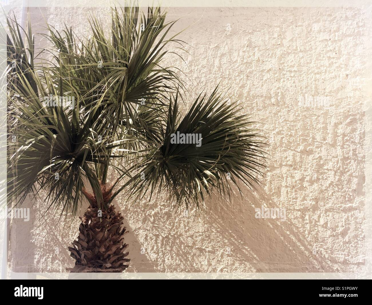 A Palmetto Palm Tree The Symbol Of South Carolina Usa Stock Photo