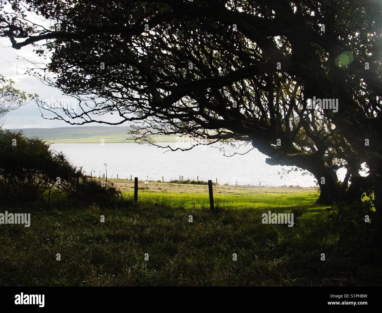 Wind blown tree in garden of old house on the island of Rousay, Orkney. - Stock Image