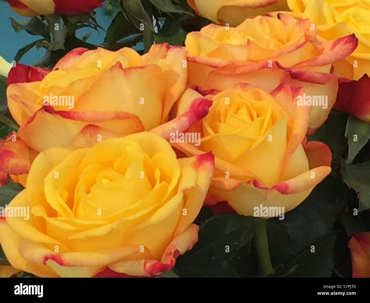 Yellow and pink rose Magma - Stock Image
