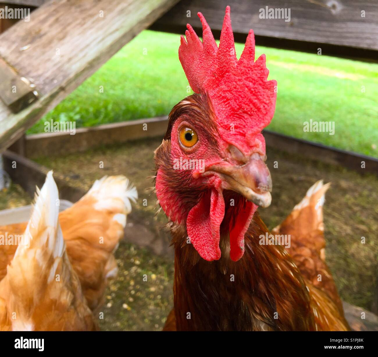 Rhode Island Red Chicken looking at camera - Stock Image