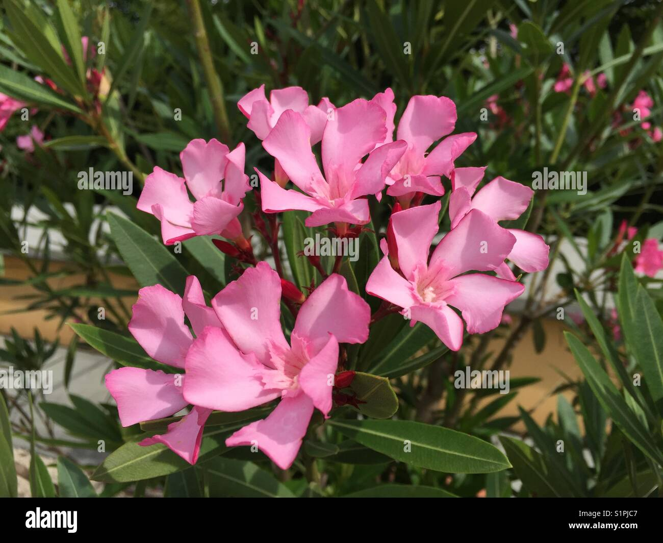 Nerium oleander group of mid to light pink oleander flowers held nerium oleander group of mid to light pink oleander flowers held upwards on stem against a green leafy oleander bush mightylinksfo
