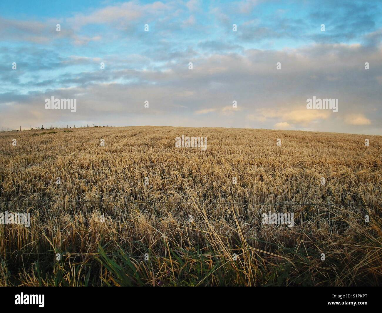 Field of grain against pearly evening sky in Quoyloo, West Mainland, Orkney. Early October. Stock Photo