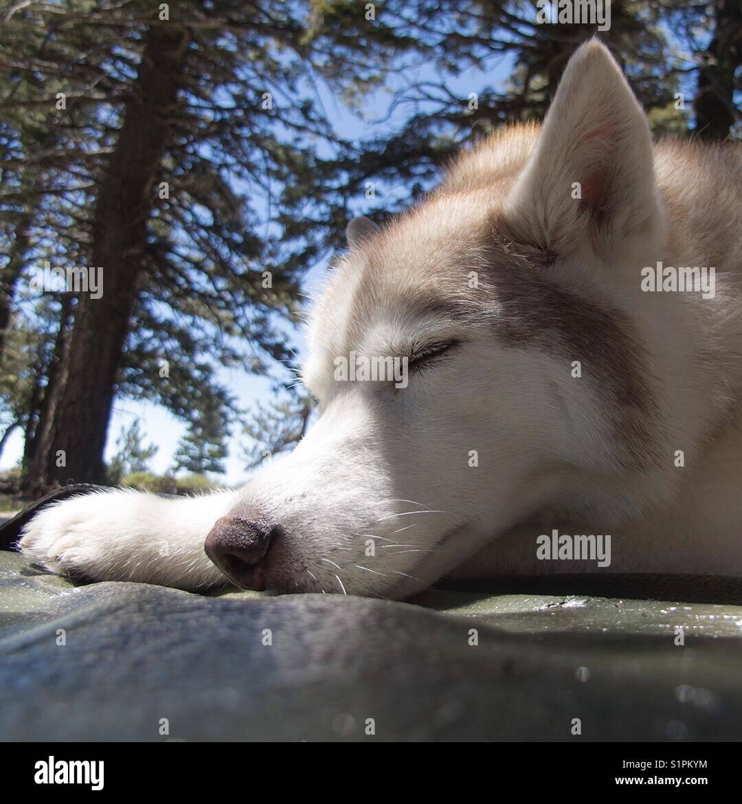 Siberian husky sleeping in the forest - Stock Image