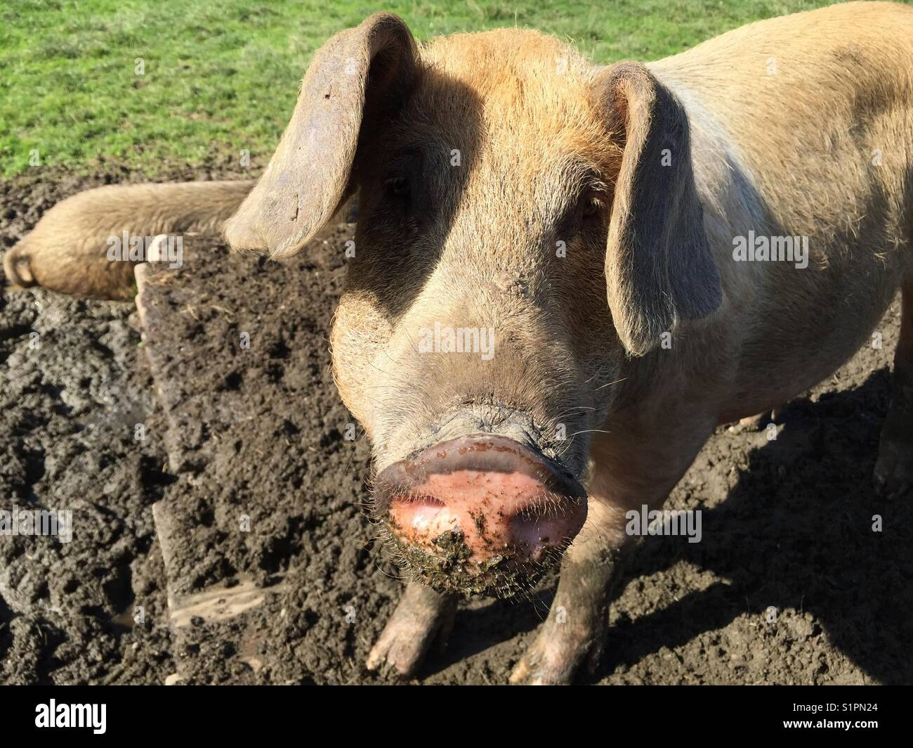 Pig in mud in Warngau, alps, Bavaria, mountains, Bentheimer, free running snimals in summer on green meadow - Stock Image