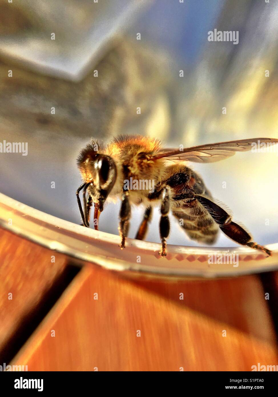 Busy bee on a wood table close up macro - Stock Image