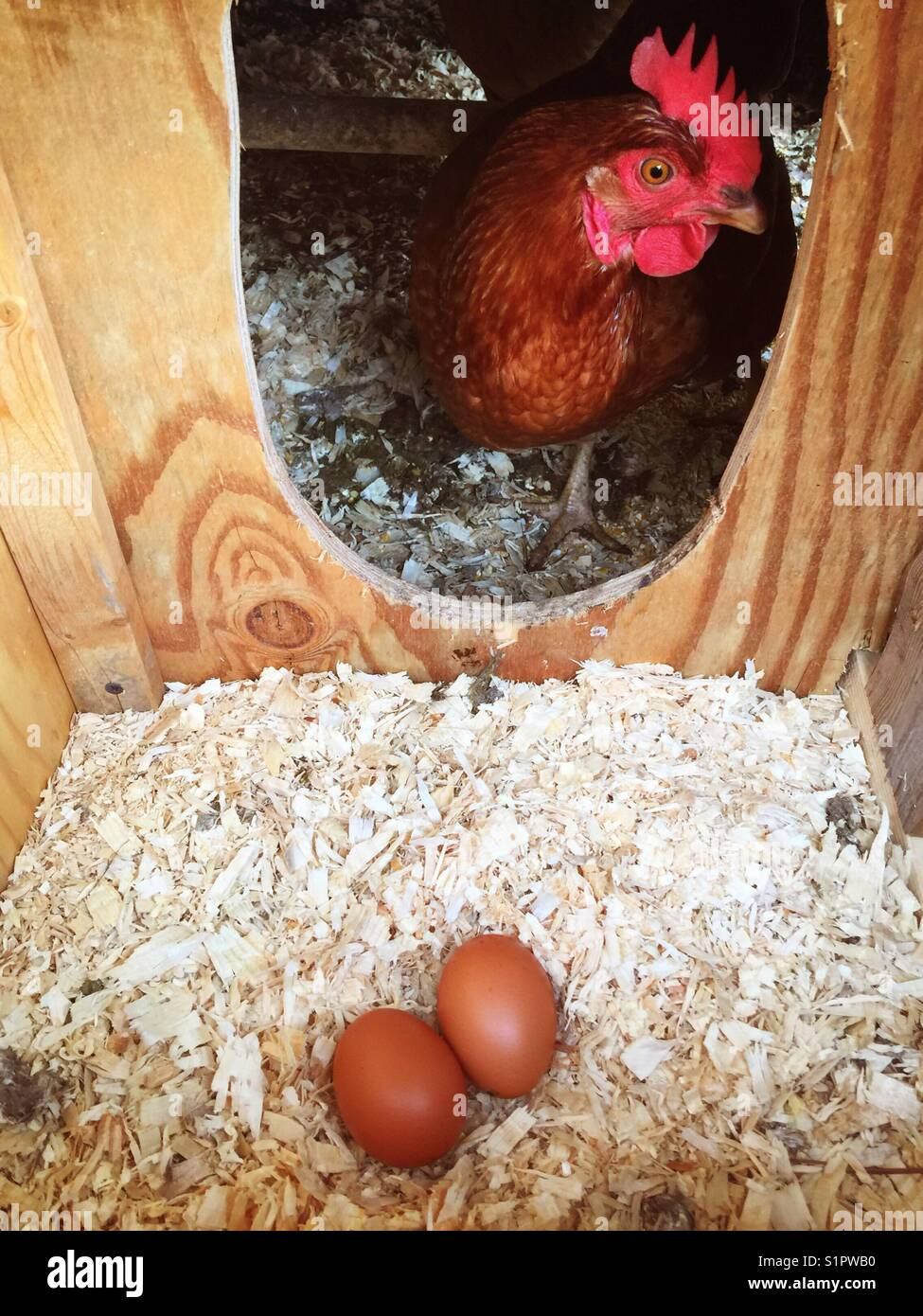 Two brown eggs in a nest box with Rhode Island Red chicken looking in. Stock Photo