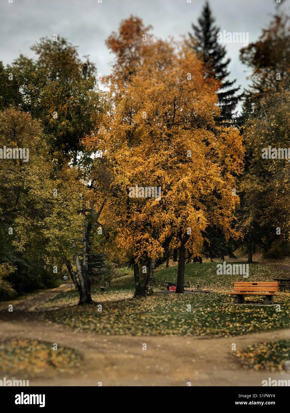 Autumn leaves, Edmonton - Stock Image