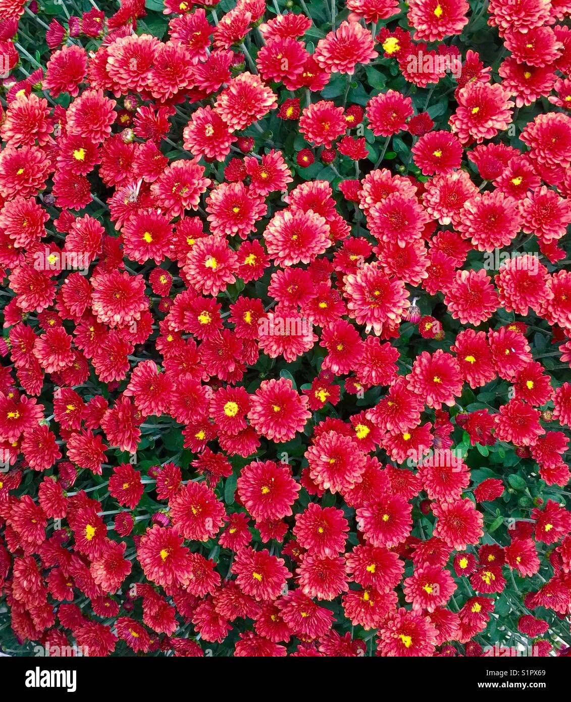 Magnificent Coral Pink Mums - Stock Image