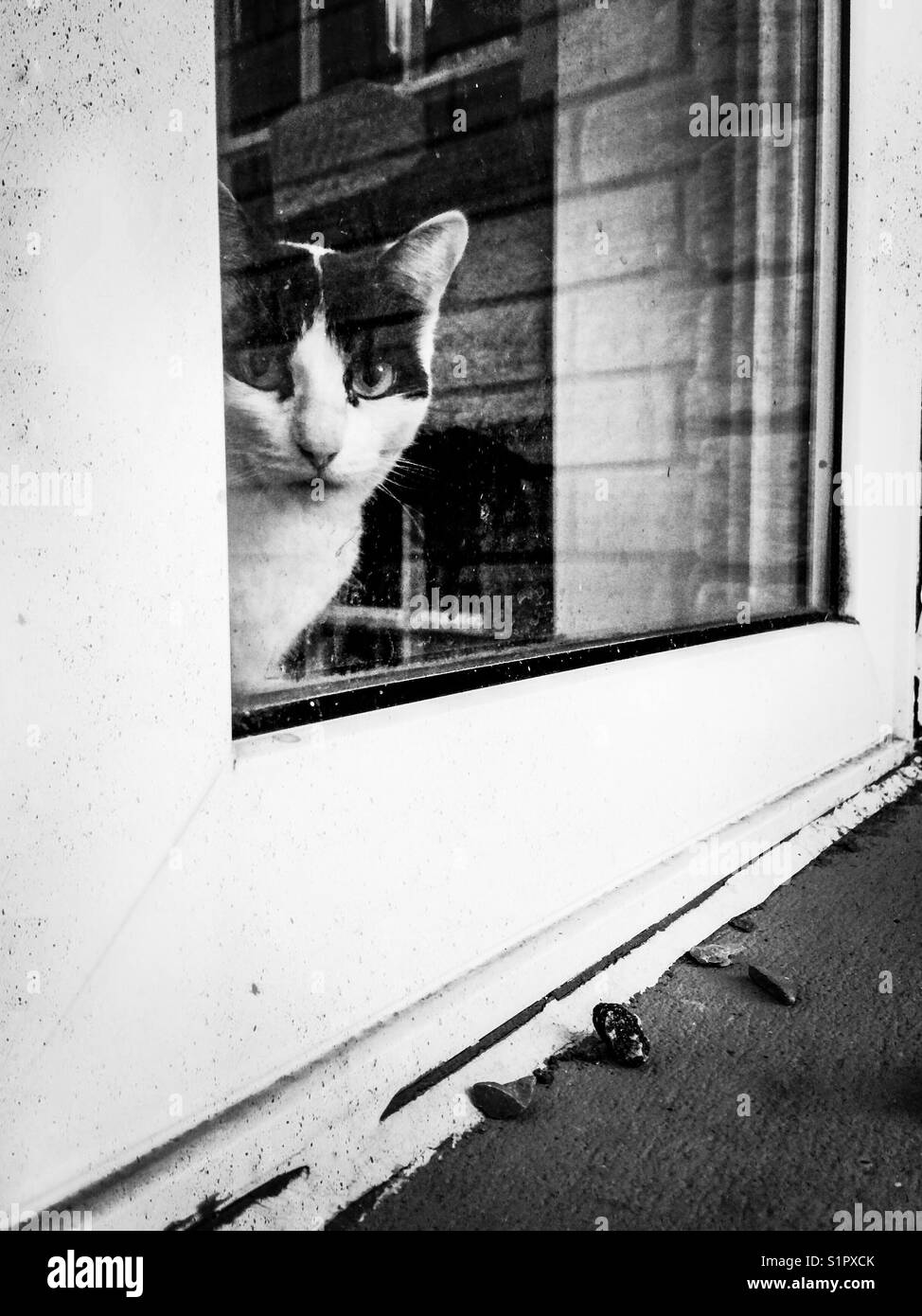 Small black and white tuxedo cat looking out window from inside - Stock Image