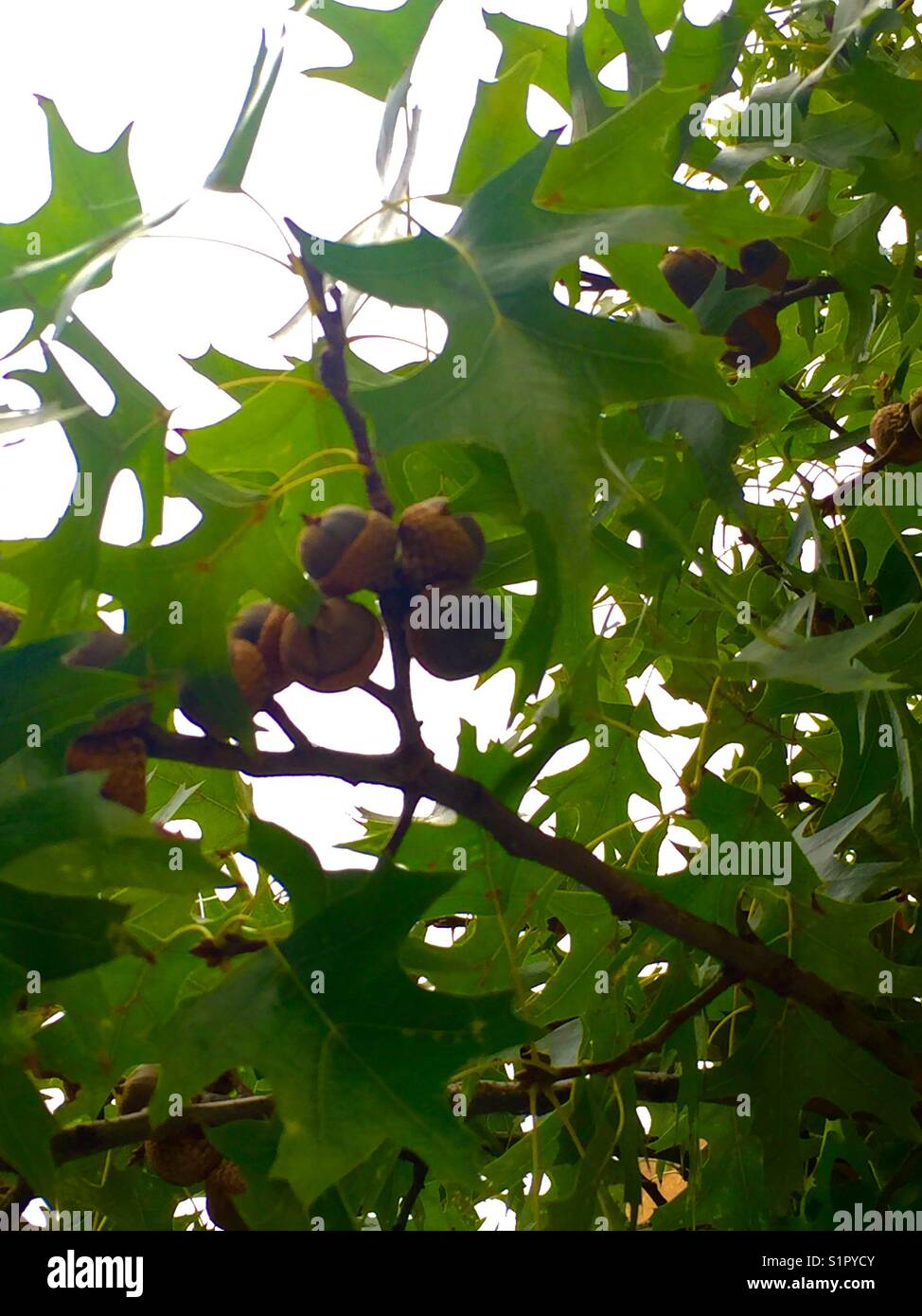 From an acorn a mighty oak grows, clusters of acorns on oak branches - Stock Image