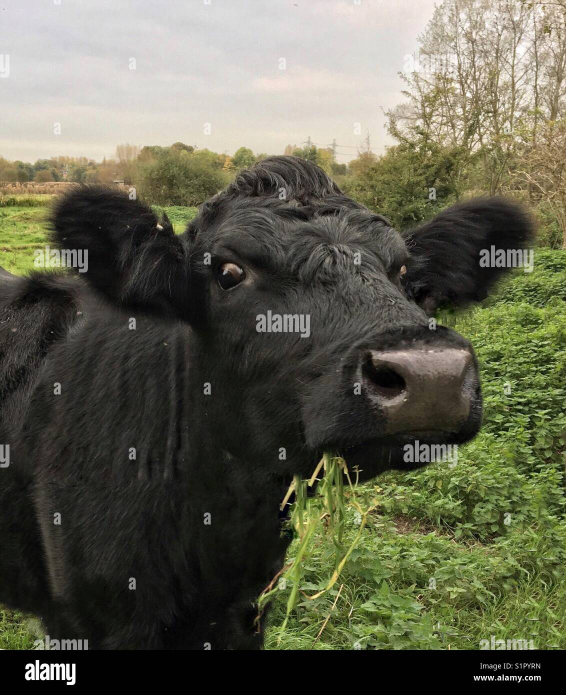 Close up of a small black heifer with a mouthful of grass. - Stock Image