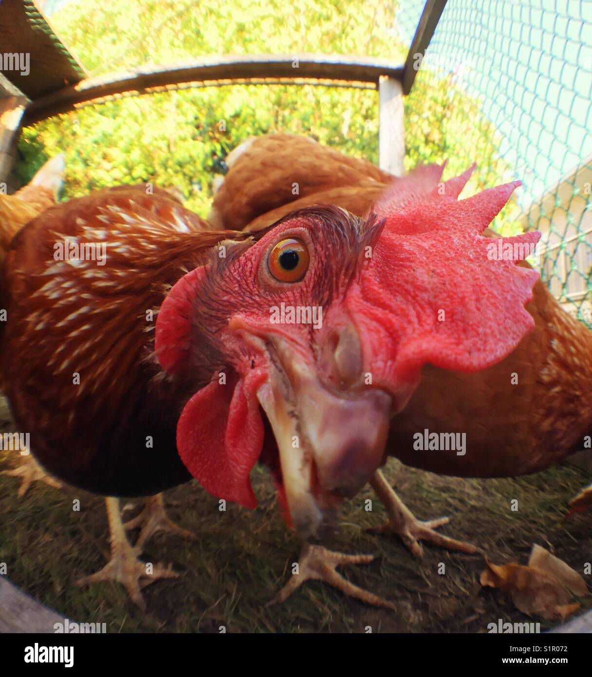 Closeup of Rhode Island Red hen - Stock Image